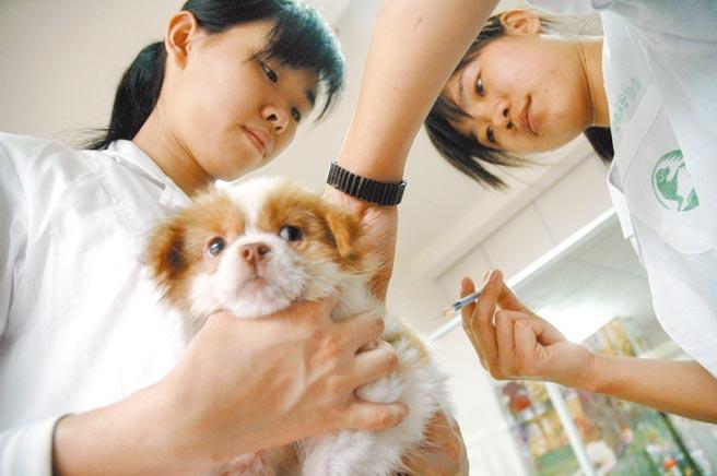 狗狗恐遭新冠「疫」擊,圖為海南省小動物保護協會寵物醫院的護士為狗打針。(中新社資料照片)