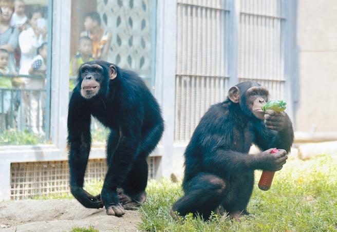研究人員擔心新冠病毒可能消滅瀕臨滅絕的靈長類物種。圖為濟南動物園內的大猩猩。(中新社資料照片)
