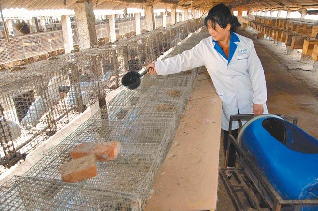 全球數百個水貂養殖場爆發疫情,圖為山東文登市侯家鎮新峰毛皮動物養殖場,工作人員在餵食水貂。(新華社資料照片)