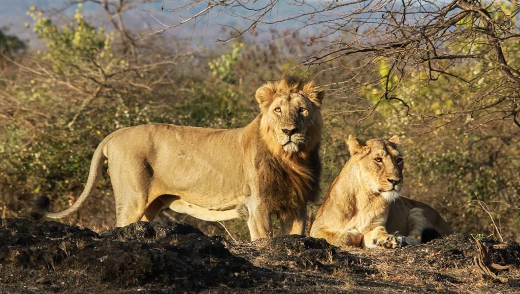 少女和姐妹到野外上廁所,沒想到竟被2頭亞洲獅盯上,最終遭撕咬慘死。(示意圖/達志影像)