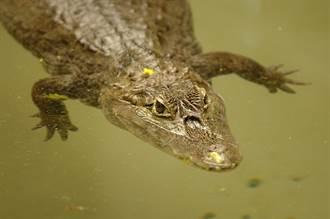 河邊洗碗被鱷魚死瞪苦守 大膽婦反應淡定:覺得可愛
