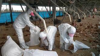 氣溫急凍禽流感再發威 大城蛋雞場撲殺2萬8739隻