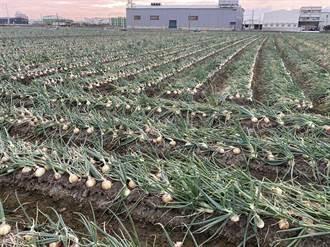 洋蔥盛產逼近成本邊緣 彰縣府啟動保價採購