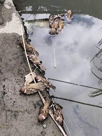 關渡平原大批鳥屍 鳥友質疑為農藥投放過量