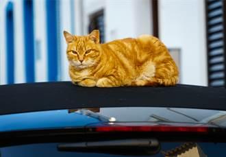 爱车被猫霸占想抢回来 牠抬头露原形车主秒怂:惹错对象