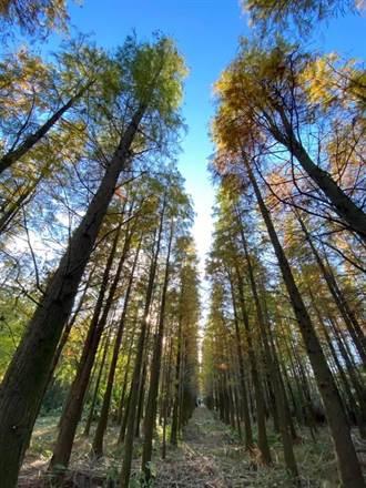 地主無心插柳 楊梅私人林地意外成為落雨松秘境