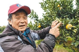 峨眉桶柑減產 橘農盼明年好行情
