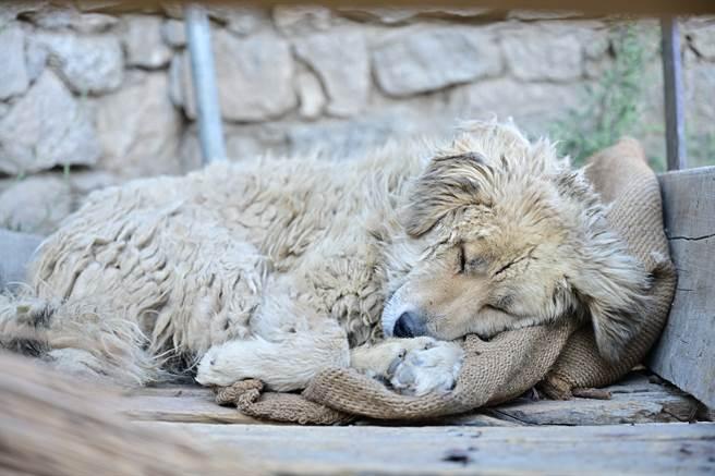 流浪狗為了躲避人群,因此會逃到山上的墓地,其中一隻「Sweet」因個性溫和,經常被同伴欺負,讓人看得相當不捨。(示意圖/達志影像)