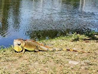 又見「酷斯拉」 網友戲稱:麟洛何時有綠鬣蜥生態公園