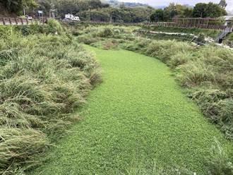 水芙蓉占據大湖南湖溪 水保局、二河局接力清除