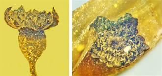 琥珀保存1億年前的花朵 停格在最美麗的瞬間