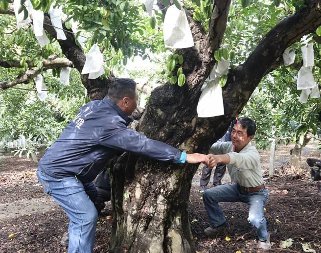 員林市百果山上湖水里的楊桃果園有一棵百年楊桃樹,園主黃煥奎說這棵老楊桃樹已傳承3代。(公所提供/謝瓊雲彰化報導)