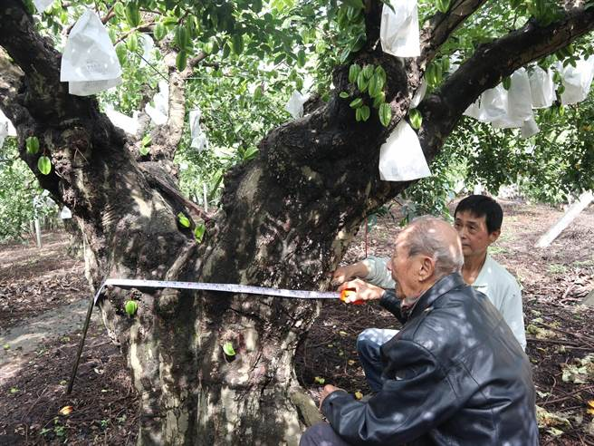 百年楊桃樹雖幾經嫁接、矮化,樹徑驚人。(公所提供/謝瓊雲彰化報導)