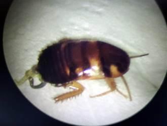 1.2公分蟑螂鑽入耳 女子痛到眼淚直流