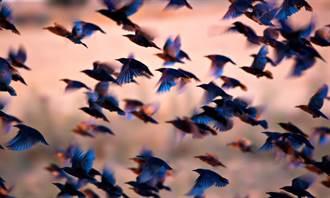 內蒙古驚見群鳥窗殺 遍地屍體民眾怕爆 專家曝原因