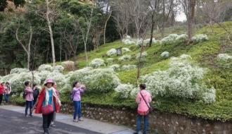 台中東勢林場楓紅層層 元旦連假壽星免費賞楓