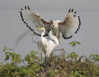 原生種悲歌重複上演 鳥友訴貪婪盜獵為禍首