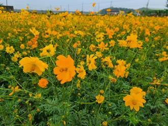 因應一期稻作停灌 台南農業局推轉作花海拚觀光