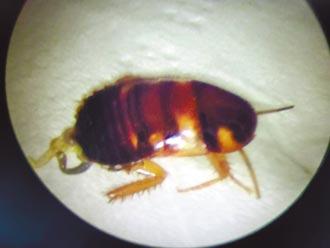 1.2公分蟑螂鑽入耳 婦女痛到流淚