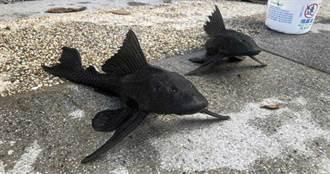 「琵琶鼠魚」入侵台北市 大嗑魚卵原生種遇浩劫