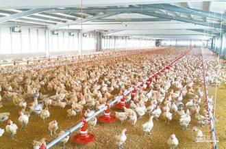 台灣雞有打生長激素?營養師揭「2關鍵」打臉:不可能