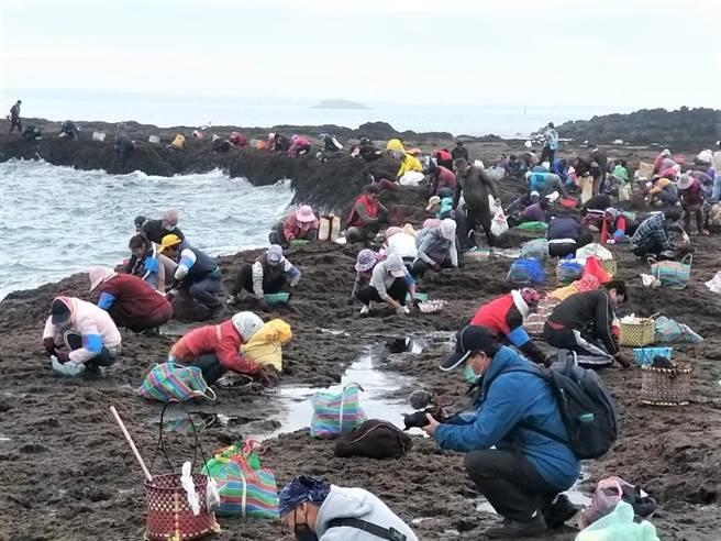全國唯一的野生紫菜保護區姑婆嶼今年首次開放,白沙鄉親500多人搭船登島忙採收。(陳可文攝)