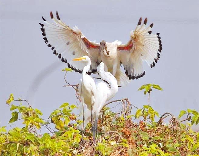外來種埃及聖鹮極為強勢,會趕走其他禽鳥強占棲息地,嚴重影響本土種生存空間。(拍鳥俱樂部社長黃蜀婷提供/吳康瑋台北傳真)