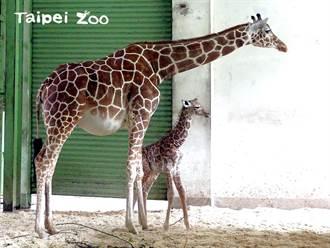 長頸鹿「小麥」產仔影片曝光 用身體護著寶寶不讓人靠近