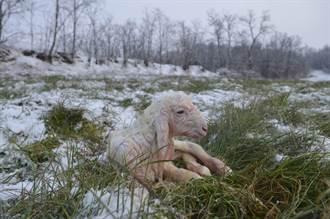 驚見雪地探出「7顆頭」 牧民拿鐵鏟一挖嚇:全都活著
