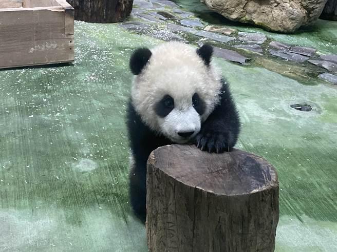 台北市立動物園大明星貓熊「圓寶」將在29日正式亮相。(游念育攝)