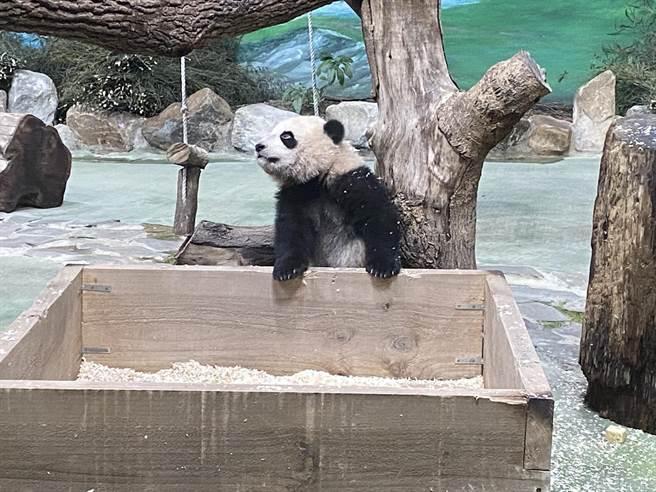 大貓熊「圓寶」今天是183日齡,肌耐力有明顯的進步。(游念育攝)