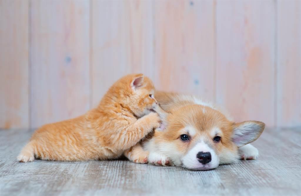 日本飼主某天意外撞見家中愛寵在進行「活狗獻祭」的場面。(示意圖/達志影像)