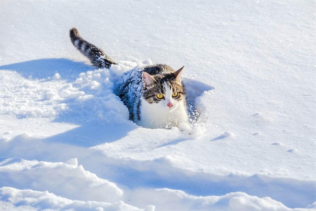 愛貓堅持外出散步,沒全不管屋外有多冷,沒想到只踏出一步,牠就被嚇得縮回屋內。(示意圖/達志影像)