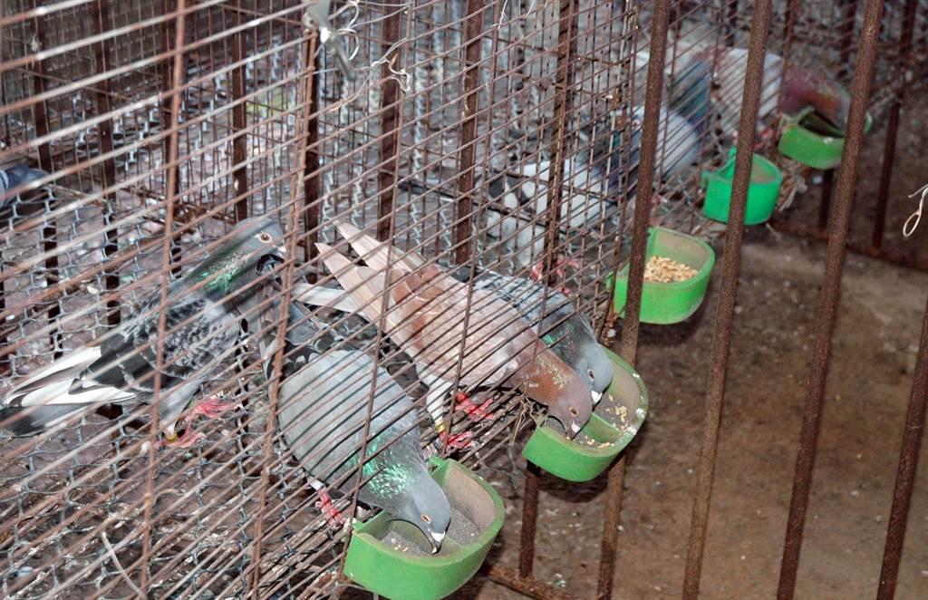 不少鴿友從飲食調配飼養賽鴿,但坊間標榜療效的賽鴿健康食品,一不小心恐將觸法。(林和生攝)