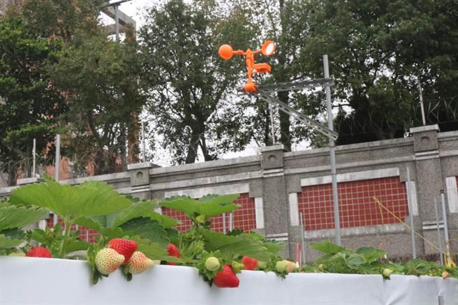 楓和草莓園採無農藥栽培,四處高掛會輪流發出猛禽叫聲、鞭炮聲、犬吠聲等聲響的驅鳥器,避免麻雀、白頭翁吃草莓。(巫靜婷攝)