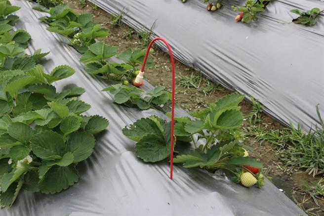 楓和草莓園採無農藥栽培,田間可見防治薊馬等蟲害的費洛蒙。(巫靜婷攝)