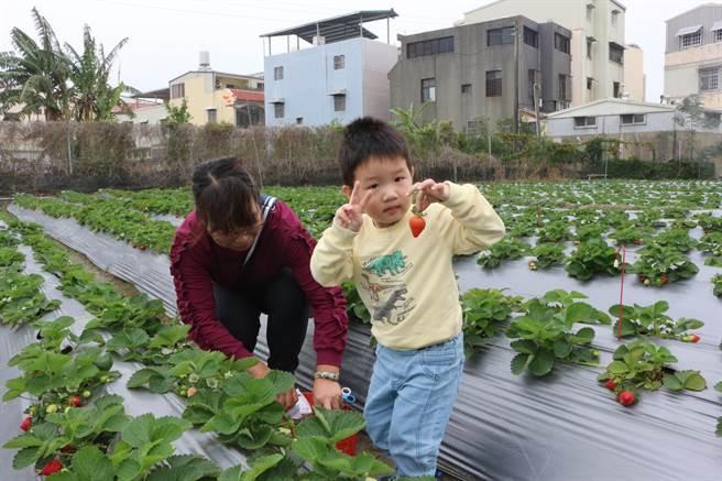 無農藥栽培的果園雖售價較高,仍受注重食安的親子團歡迎。(巫靜婷攝)