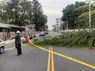 霸王級寒流發威 嘉義刮強陣風樹倒了