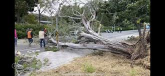 狂風吹倒路樹 台南永康路樹倒塌無人車損傷