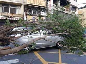 霸王寒流像颱風 彰化多起路樹倒塌壓垮車