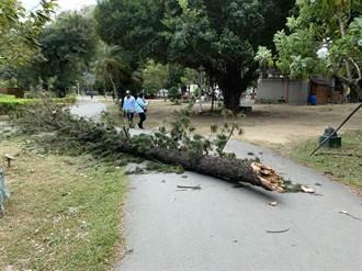 台南上午近10起樹倒 台南公園壓傷人 工務局將助申請國賠