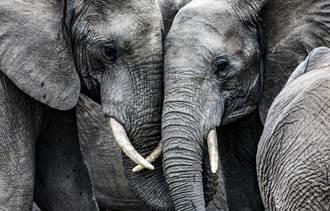 大象被逼雙腳站立 發瘋用頭狂撞地 曝動物園內幕網哭了