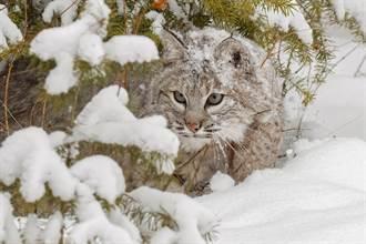 罕見獨行俠現蹤冰川上 拍到3頭連體山貓攝影師驚呼