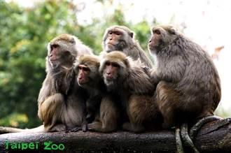 寒流來襲「圓寶」全家沒在怕 獼猴冷到抱成一團眼神死
