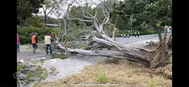 今早強風狂襲,台南永康一棵路樹倒塌。(讀者提供/曹婷婷台南傳真)
