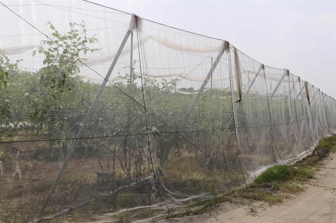 對抗寒流,農民在果園周邊加設防寒網,達到抗風寒及保溫的效果。(農糧署提供/黃立杰南投傳真)