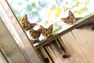 流浪貓跳上屋頂想搬家 見斷腿幼崽動不了 下秒舉動暖哭網