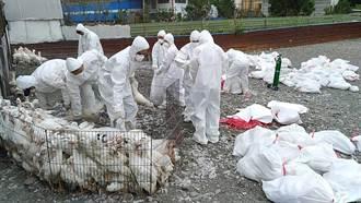 屏縣境內驗出2場肉鴨感染禽流感 隨即啟動撲殺作業