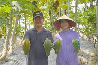 中華郵政挺小農 i郵購關懷農產行銷首推美濃木瓜