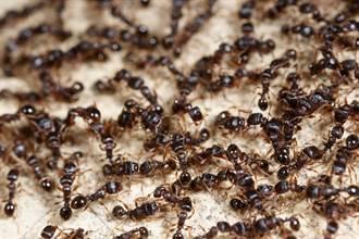上萬隻螞蟻圍成圈順時針狂轉 罕見「死亡漩渦」超毛